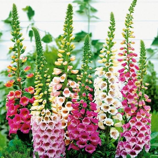 Саженцы наперстянки (дигиталиса) – высокие соцветия-свечи в саду