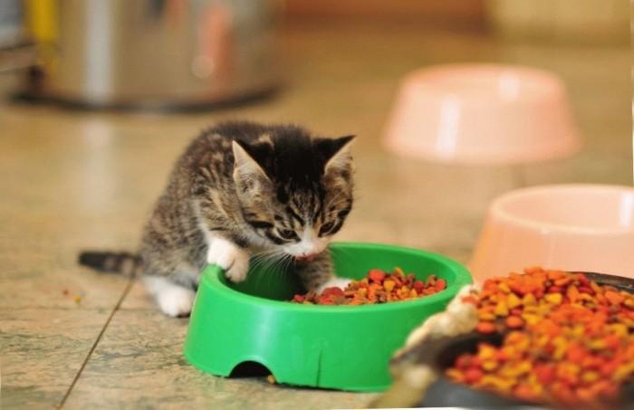 Можно ли кормить взрослую кошку кормом для котят